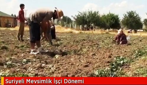 Suriyeli Mevsimlik İşçiler İş Başında