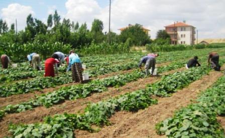 Çubuk'ta Buğday ve Salatalık Hasadı Başladı