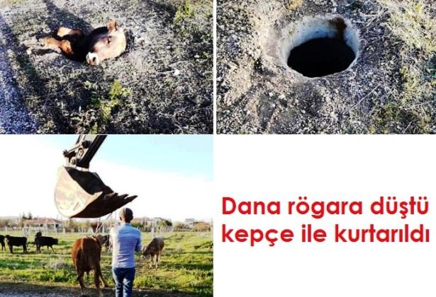 Dana rögara düştü kepçe ile kurtarıldı